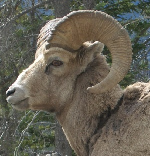 Big Horned Sheep are the Colorado State animal. This animal is the originator of the Rocky Mountain Oysters. Clicking on this magnificent beast will take you from the Colorado Dispensaries home page, denverdaze.com to the National Wildlife Federation, NWF.org